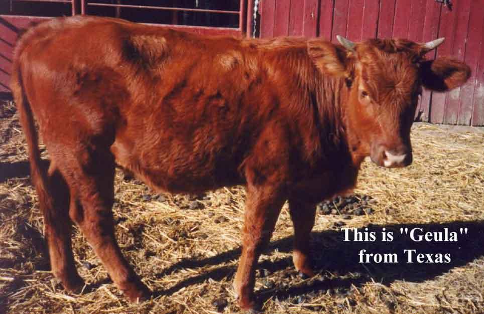 حسب الديانة اليهودية لا يسمح لليهود بدخول جبل بيت المقدس حتى يتم تطهيرهم برماد البقرة الحمراء